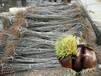 石丰板栗树苗石丰板栗树苗种植技术