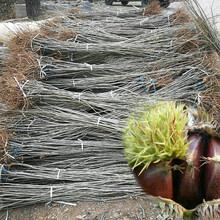 石门早硕板栗苗量大从优、九龙坡沂蒙短枝板栗苗新品种图片