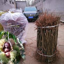 处暑红板栗树苗种植时间、桂林石丰板栗树苗特价批发图片