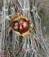4cm板栗树苗4cm板栗树苗成长特性图片