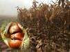 1cm板栗树厂家、商洛7公分板栗树新品种