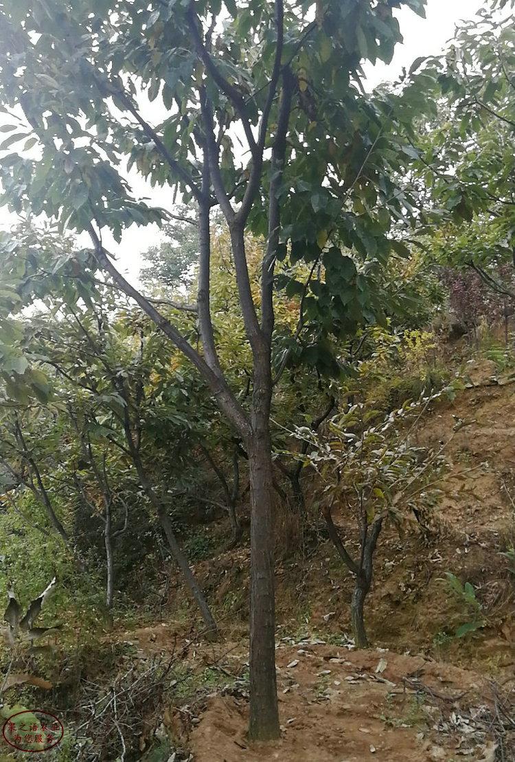 平顶山板栗树、板栗树今年价格