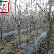 泰山朝阳樱桃苗种类繁多、商丘乌克兰大樱桃苗量大从优图片