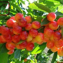 早大果櫻桃樹苗品種、信陽早紅株櫻桃苗出售圖片