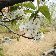 萨米脱大樱桃苗厂家、金华佳红樱桃苗销售图片