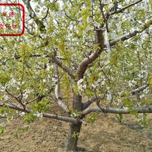 拉宾斯樱桃树苗销售、宁河桑缇娜大樱桃苗哪里有卖图片