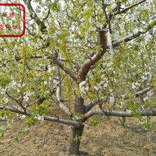 櫻桃樹苗銷售、牡丹江2公分吉塞拉櫻桃樹苗如何挑選
