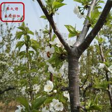 7cm樱桃苗种类繁多、德阳布鲁克斯樱桃树多少钱一棵图片