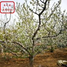 晚翠樱桃苗哪里有卖、广州吉塞拉6号大樱桃苗种植基地图片