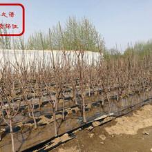 早丹樱桃苗货源地在哪、衡阳8-129樱桃树苗主产区欢迎您图片