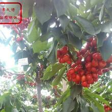 斯坦拉樱桃树苗批发商、呼和浩特1公分矮化樱桃树苗出售图片