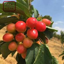 斯坦拉樱桃树苗报价一览表、承德斯坦拉樱桃树苗图片