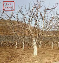 美早樱桃苗批发商、许昌龙冠樱桃树苗多少钱一棵图片