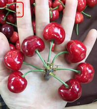 冰糖樱大樱桃树苗定购热线、巴音郭楞冰糖樱大樱桃树苗图片