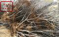 8-129樱桃树新品种、巴南布鲁克斯樱桃树基地供应