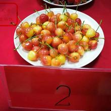 红艳大樱桃苗图片、普洱福樱1号樱桃树如何挑选图片
