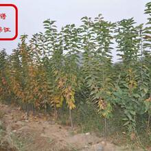 红蜜樱桃树今年价格、醴陵红蜜樱桃树图片