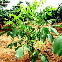 7公分核桃树7公分核桃树种植时间图片