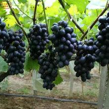 克倫生葡萄樹苗種類繁多、慶陽巨玫瑰葡萄苗價格實惠