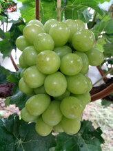 蜜光葡萄苗销售、红河七星女王葡萄树苗今年价格
