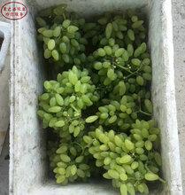 早生内玛斯葡萄树苗销售、海西3公分葡萄苗放心省心