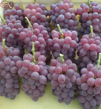 和田红葡萄树苗如何挑选、三亚辽峰葡萄树苗批发图片