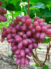 红提葡萄树苗种植技术、泰安红国王葡萄树苗今年价格