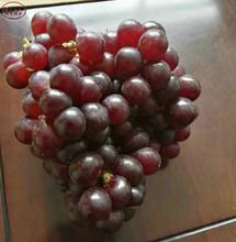 美国5号葡萄苗新品种、杭州蓝宝石葡萄苗行情图片