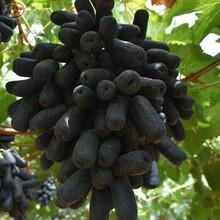 金田蜜葡萄树苗种植技术、铁岭妮娜皇后葡萄树苗品种有哪些图片