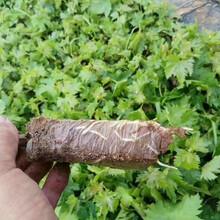 妃玫瑰葡萄苗新品種、通化無核A09葡萄樹苗不二之選圖片