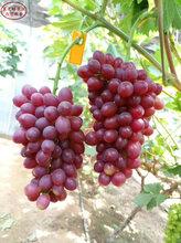 早生内玛斯葡萄苗种植技术、运城美人指葡萄树苗种植技术