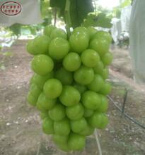 无核白鸡心葡萄树苗不二之选、三明玲珑指葡萄树苗今年报价图片