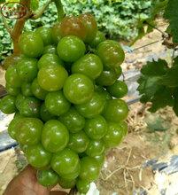 红国王葡萄树苗种植技术、永州醉金香葡萄树苗现货销售