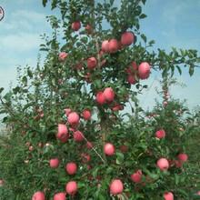 新品種:1cm蘋果樹苗品種怎么樣、大興3公分蘋果樹苗求購圖片