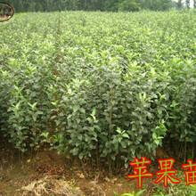 新品種:7公分蘋果樹苗今年報價、楊浦國光蘋果樹新品種價格基地圖片