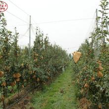 新品種:M106蘋果樹苗行情、常州澳洲青蘋果苗種植管理圖片