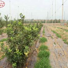 新品種:10cm蘋果樹品種有多少價格、昌吉秋口紅蘋果苗專賣圖片