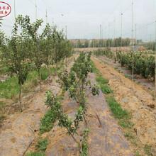 新品種:煙紅蜜蘋果樹市場前景、馬鞍山7公分蘋果樹苗什么樹形,確保達到穩產圖片