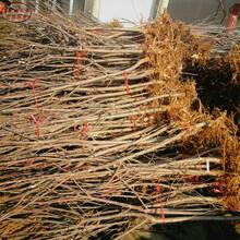 新品種:煙富3號蘋果樹苗基地供應、靜安蘋果小苗合作一次長久合作圖片