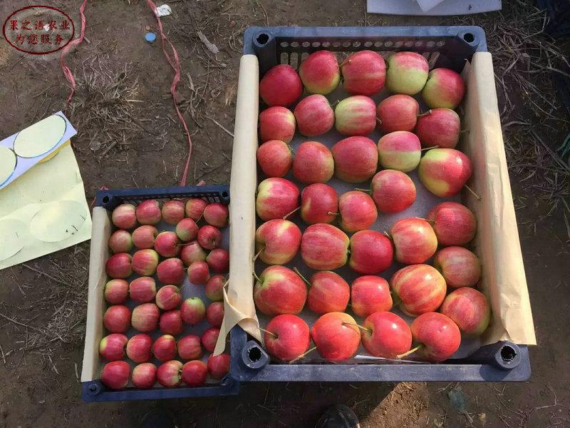 新品种:华玉苹果苗厂家电话联系、银川烟富6号苹果树规格