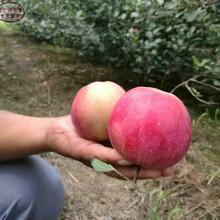 新品種:映雪紅鈴蘋果樹苗價格實惠、雞西金帥蘋果苗質量好的圖片