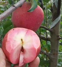 新品種:8公分蘋果苗種植技術、衢州123蘋果苗出廠價格圖片