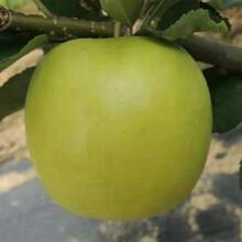 新品種:黃元帥蘋果苗價格、鄂爾多斯煙富6號蘋果樹苗市場前景圖片