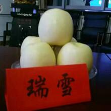 新品種:6cm蘋果樹苗供應商、杭州福艷蘋果苗圖片