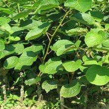 青城1号猕猴桃苗量大从优、广州金魁猕猴桃苗新品种新价格图片