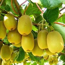 翠玉獼猴桃苗如何挑選、昆明廬山獼猴桃樹苗種植時間圖片