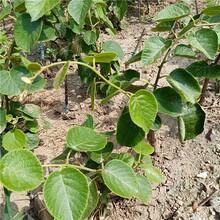 獼猴桃苗一畝栽多少棵、大興陜獼1號獼猴桃樹苗供應商圖片