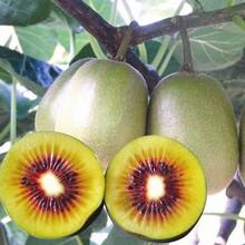 金豐獼猴桃樹苗不二之選、衡水早鮮獼猴桃苗品種有多少價格圖片