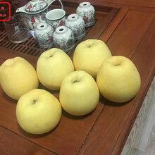 新品種:脫毒蘋果樹苗行情、盧灣煙富0號蘋果苗種植環境與培育要求