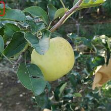 新品种:红骨髓苹果树苗今年价格、遵义2cm苹果树质量好的图片